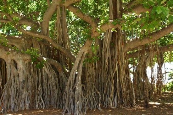 Vata or Banyan Tree